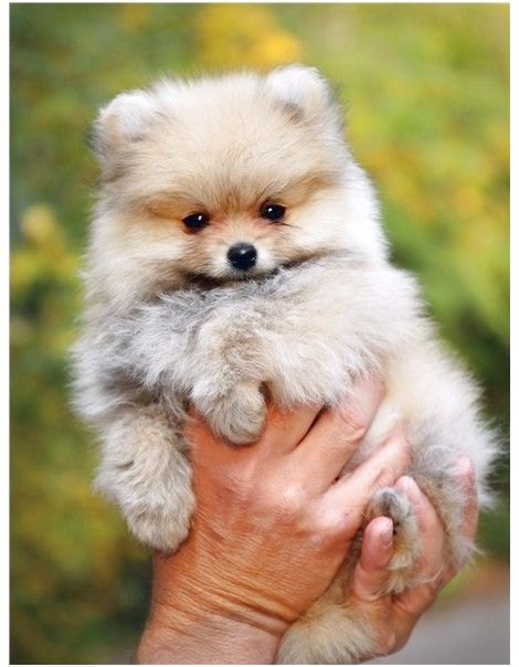 toy pomeranians for sale in california