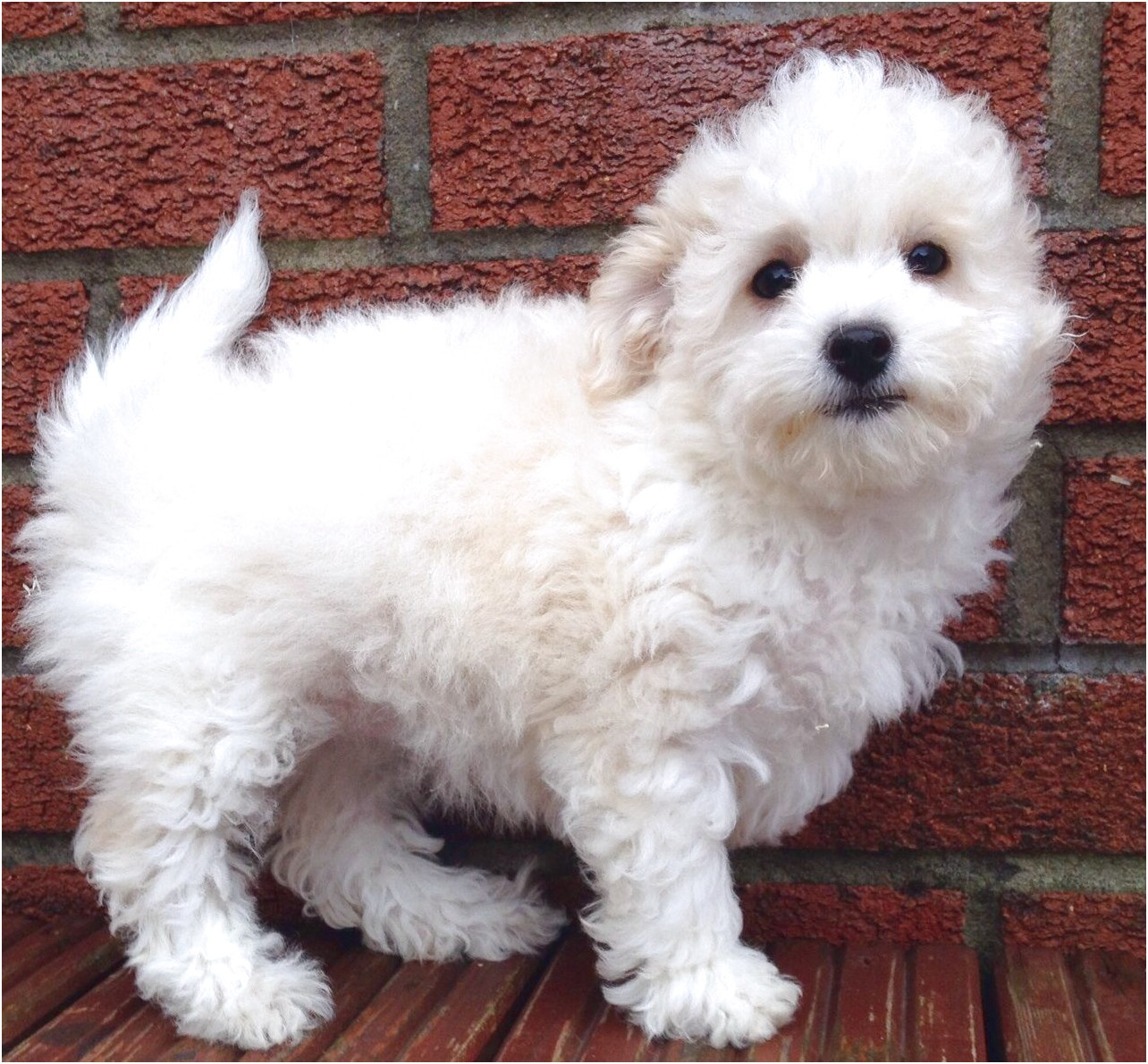 Toy Poodle X Maltese Pups For
