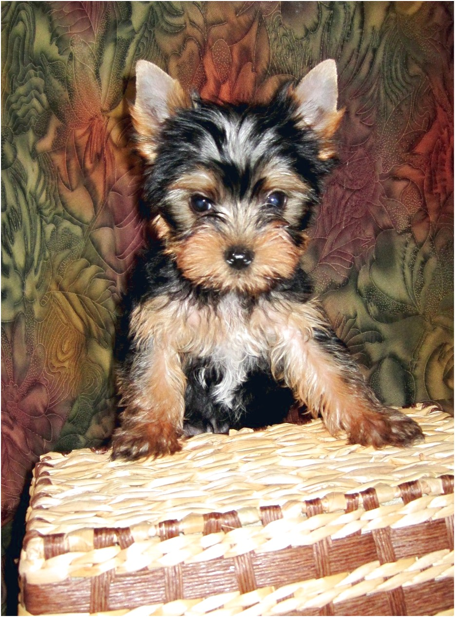 toy yorkshire terrier pups for sale