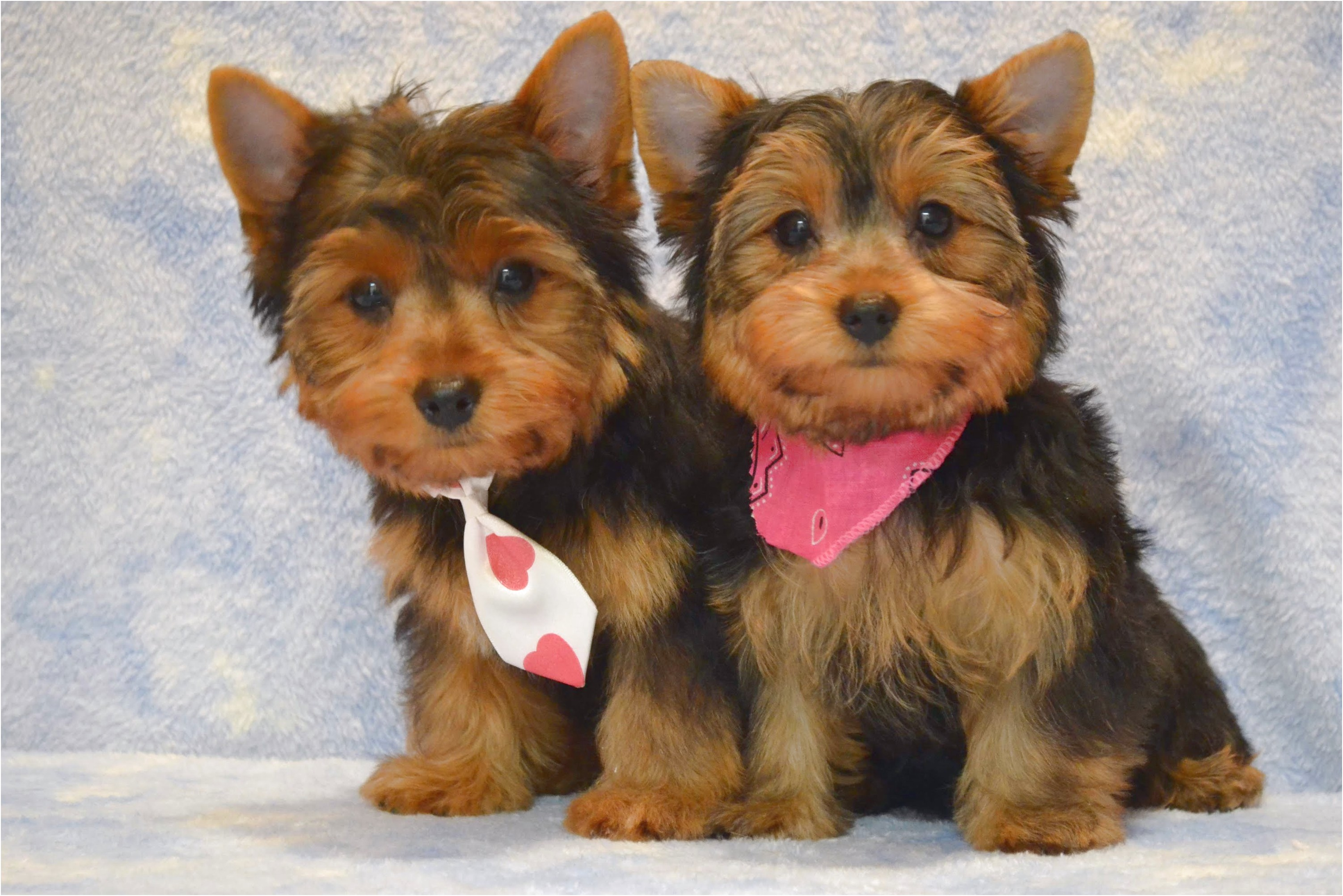 training a yorkshire terrier pup