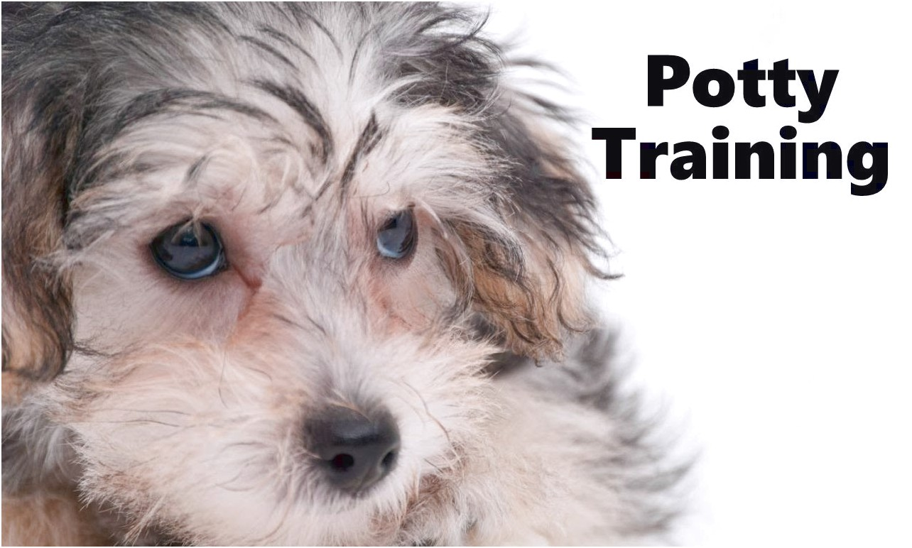 training a yorkshire terrier puppy
