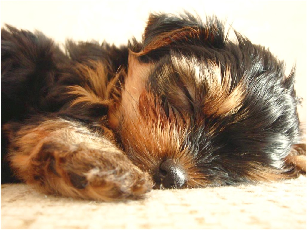 training your yorkshire terrier puppy