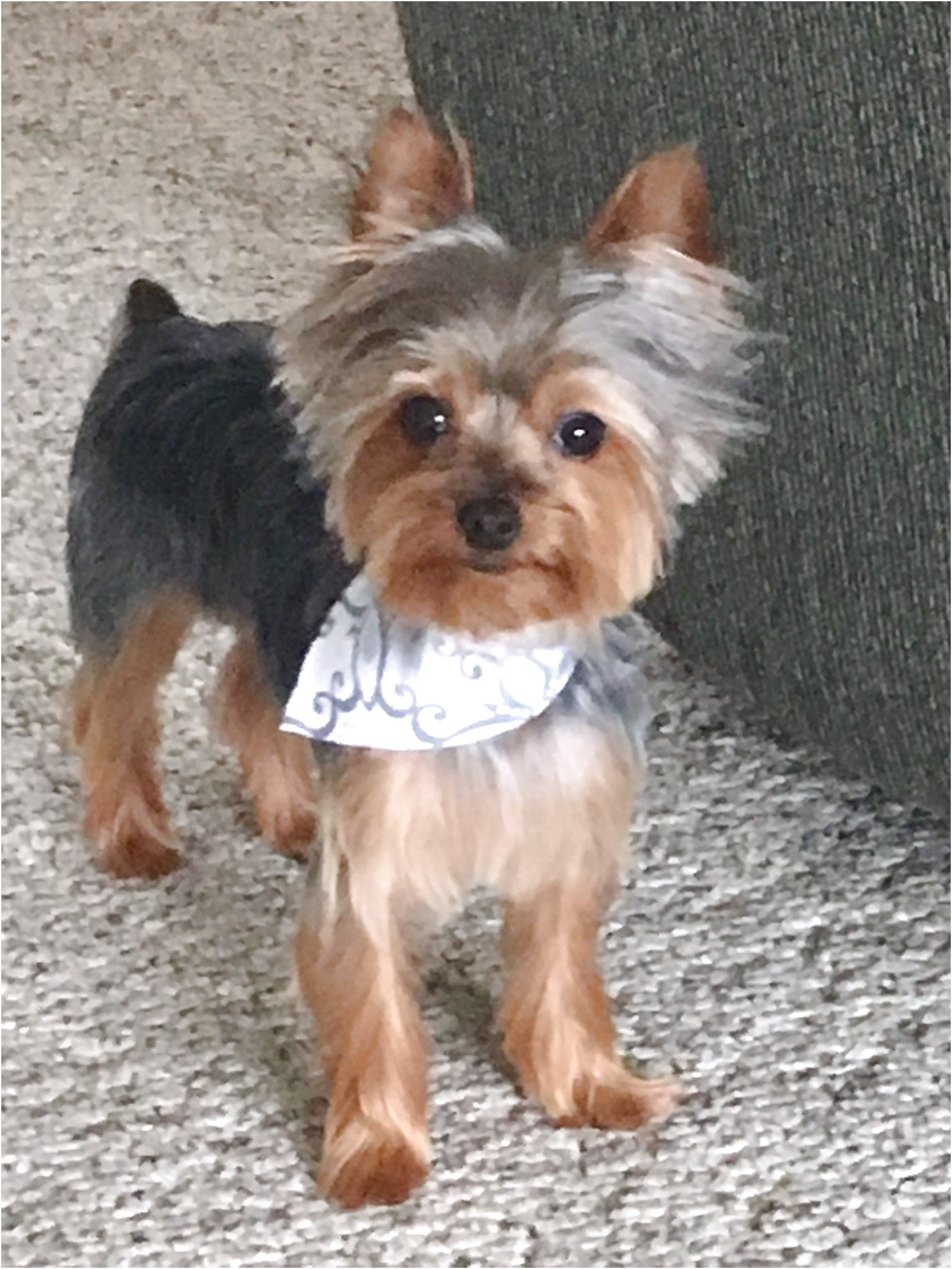 treats for yorkshire terrier puppies