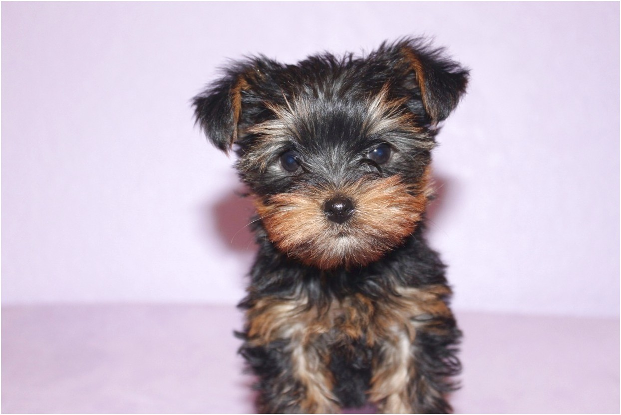 videos of yorkshire terrier puppies
