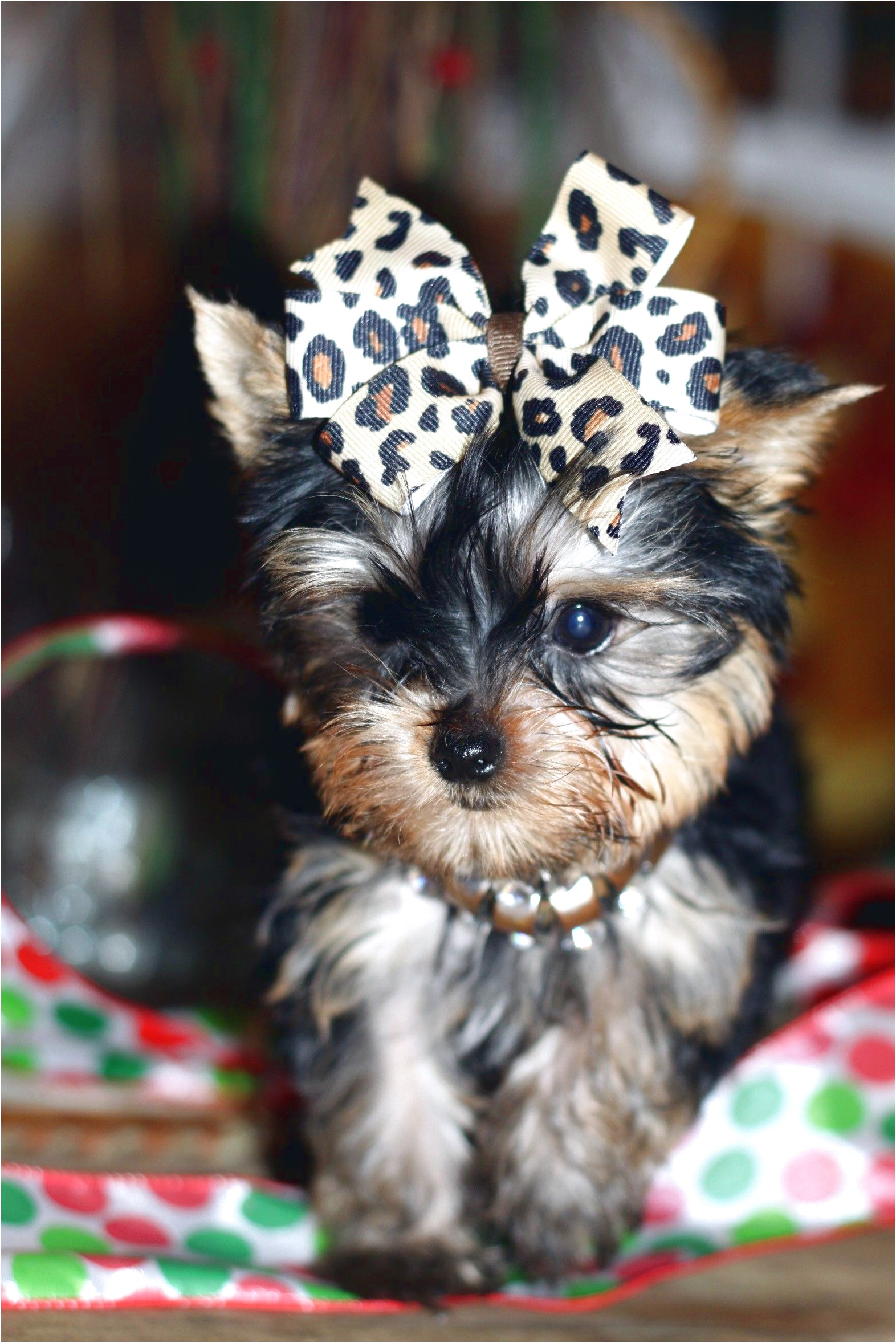 west yorkshire terrier for sale