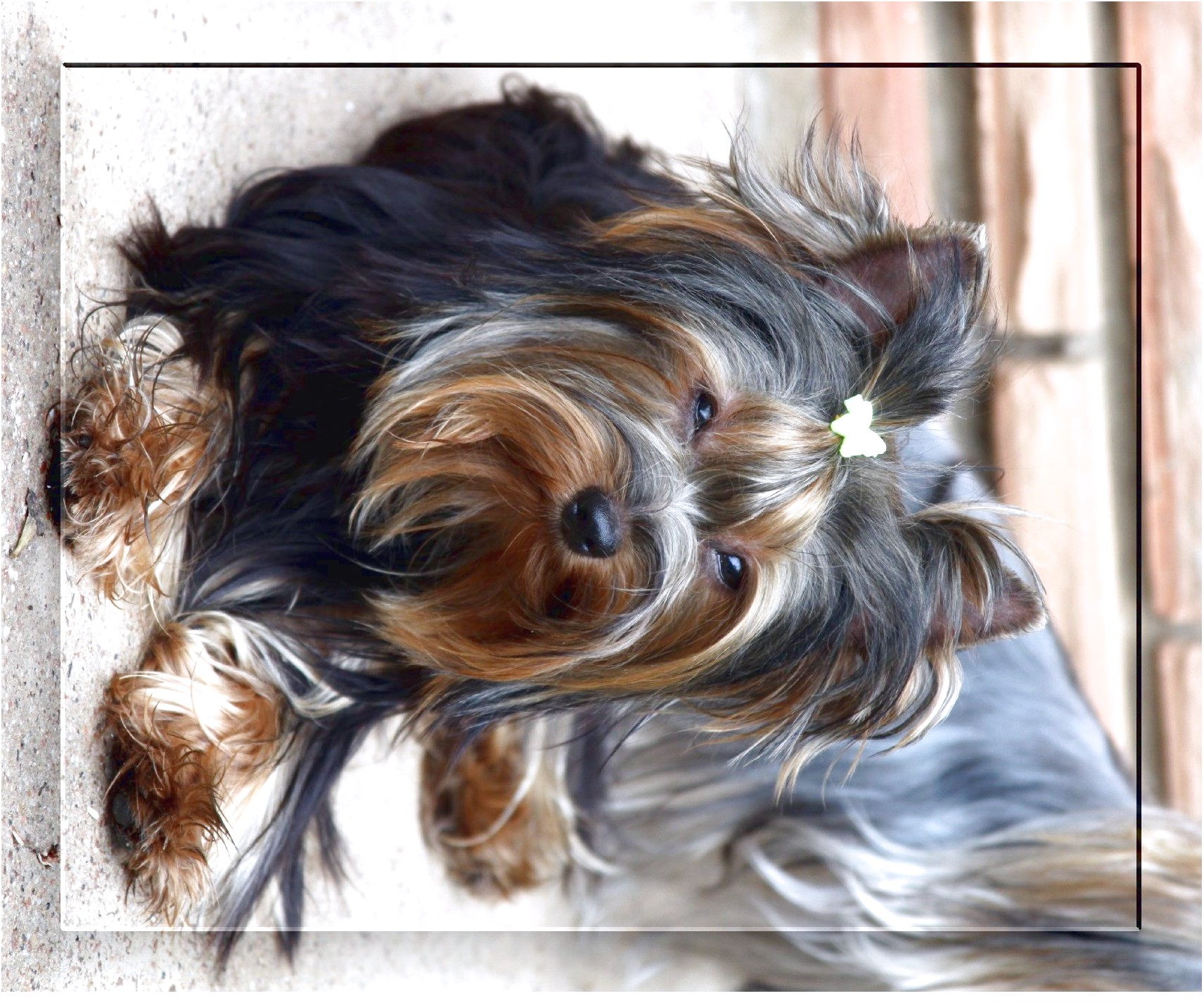 west yorkshire terrier puppies for sale