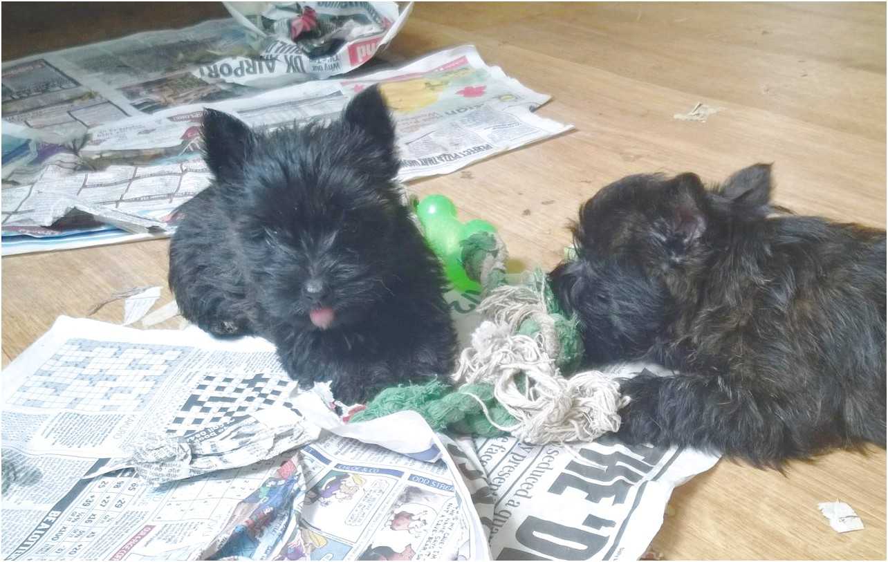 westie x yorkshire terrier puppies for sale