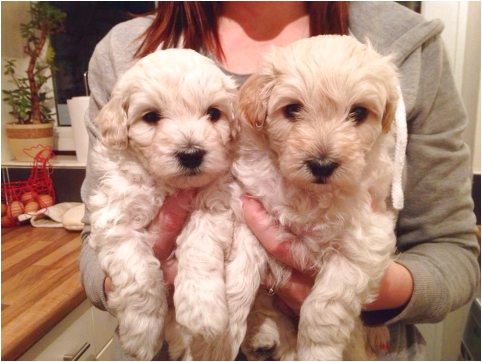 Buy Puppies For Sale Near Me In Ireland