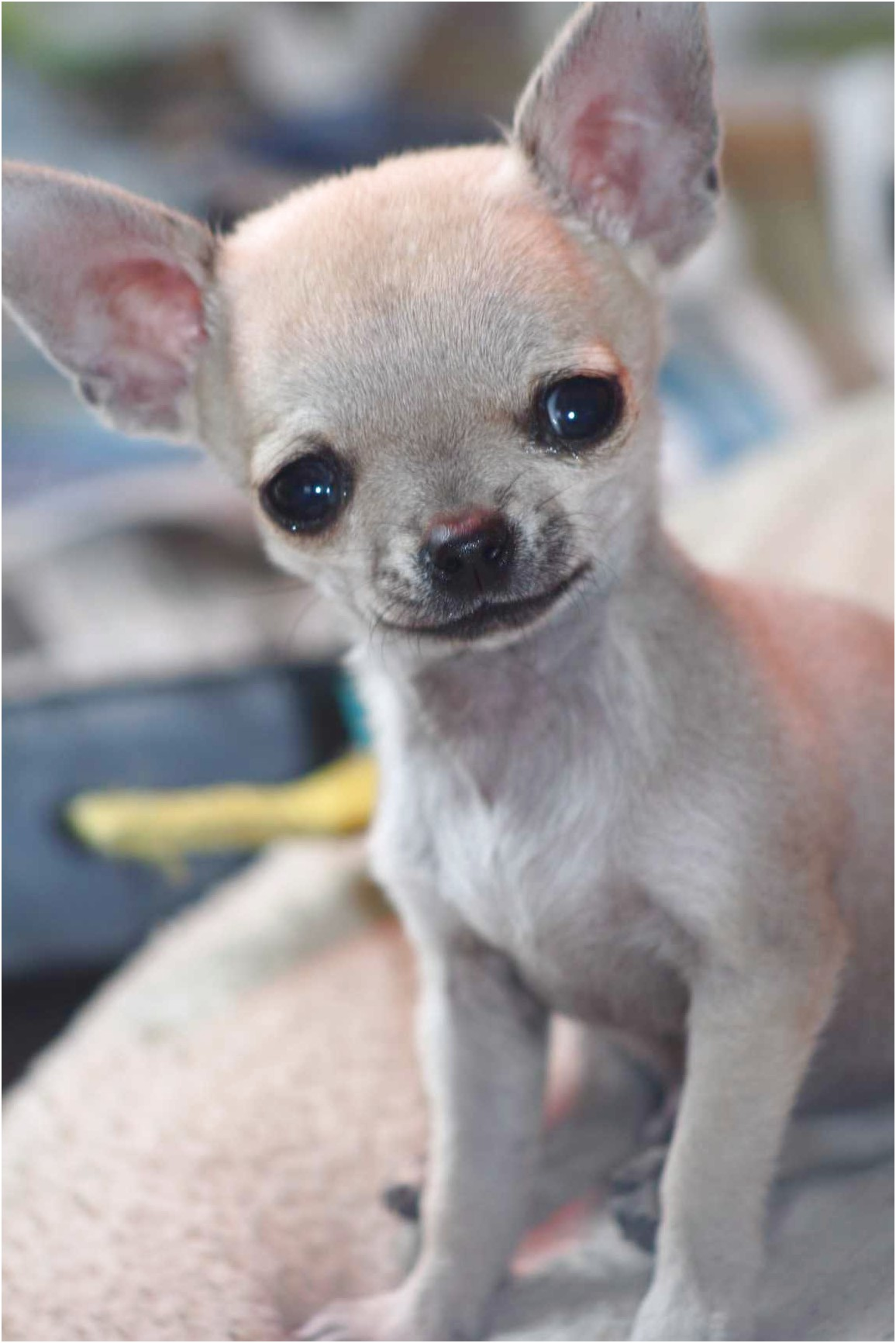 what is the best dog food for chihuahua puppies