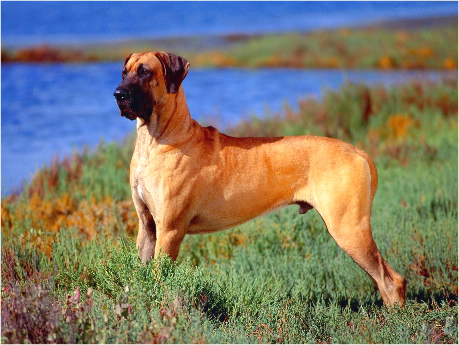 what kind of dog food is best for great danes