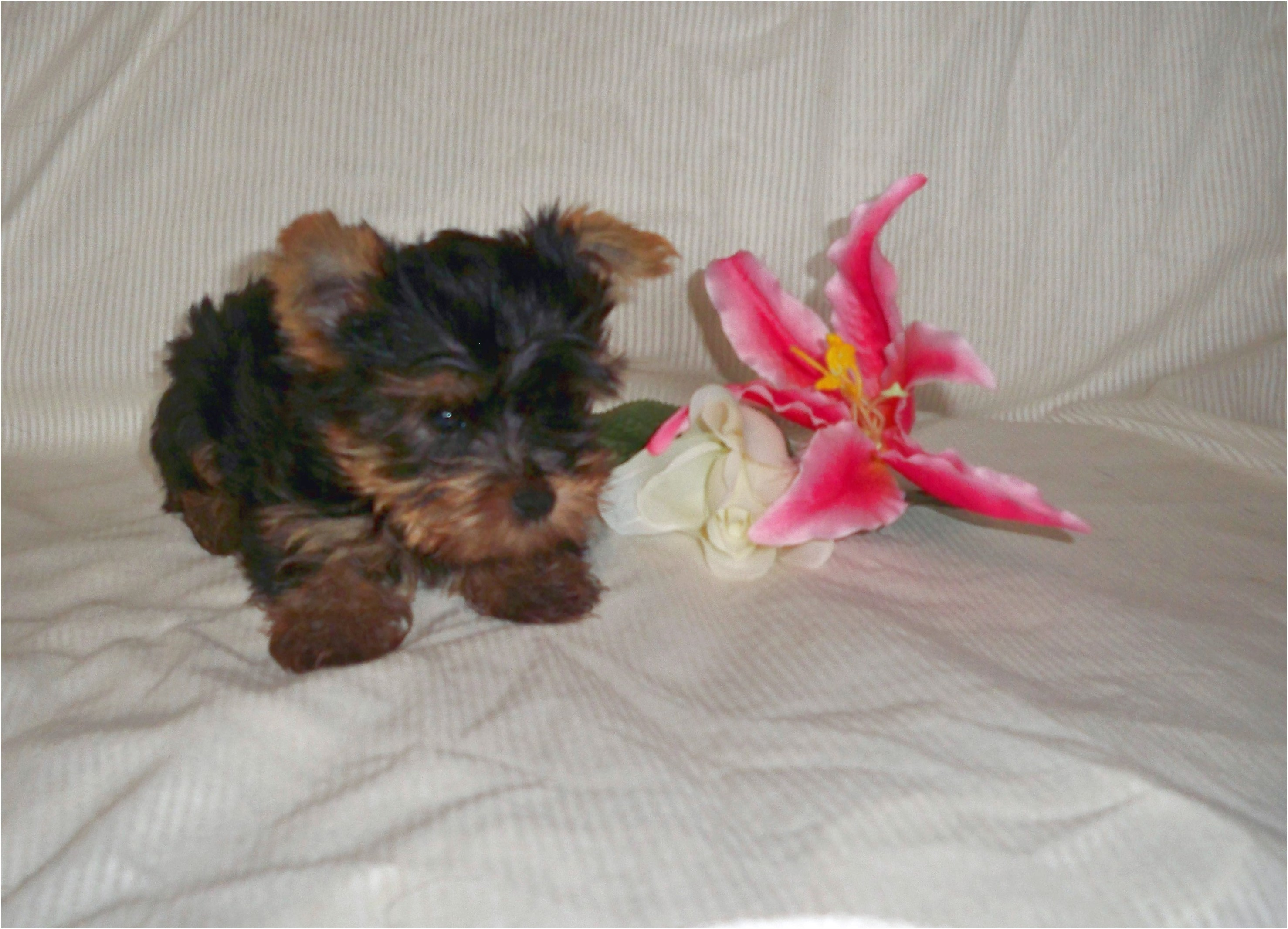 when can yorkshire terriers have puppies