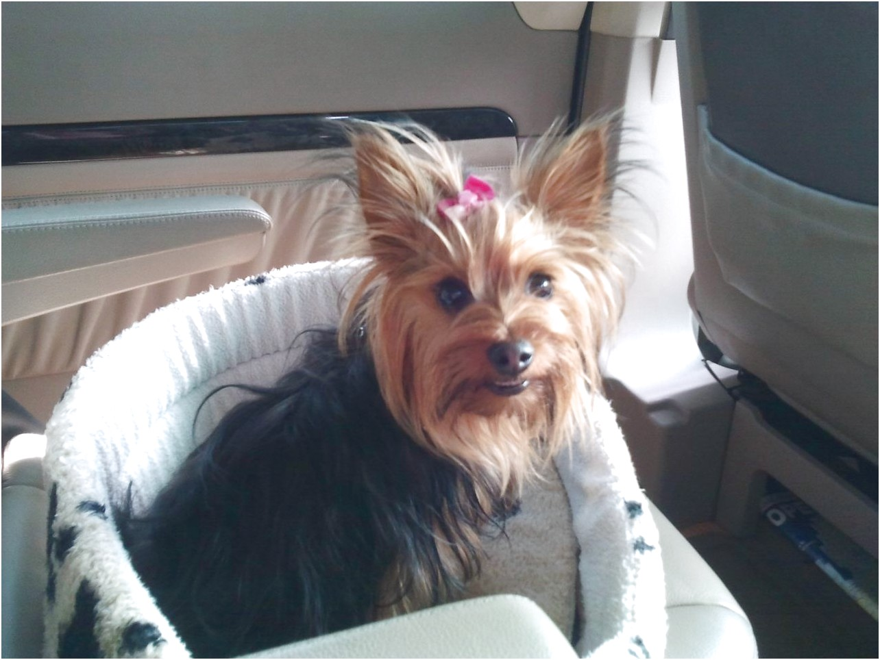where to adopt a yorkshire terrier
