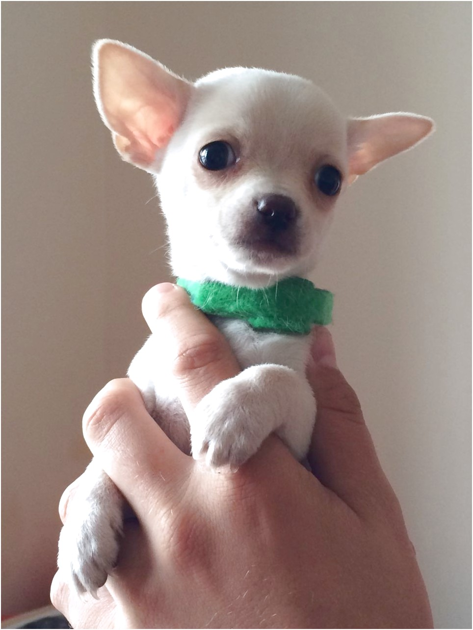 white applehead chihuahua puppies for sale