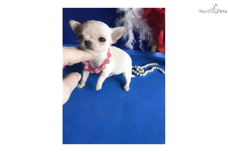 white chihuahua puppies for sale near me