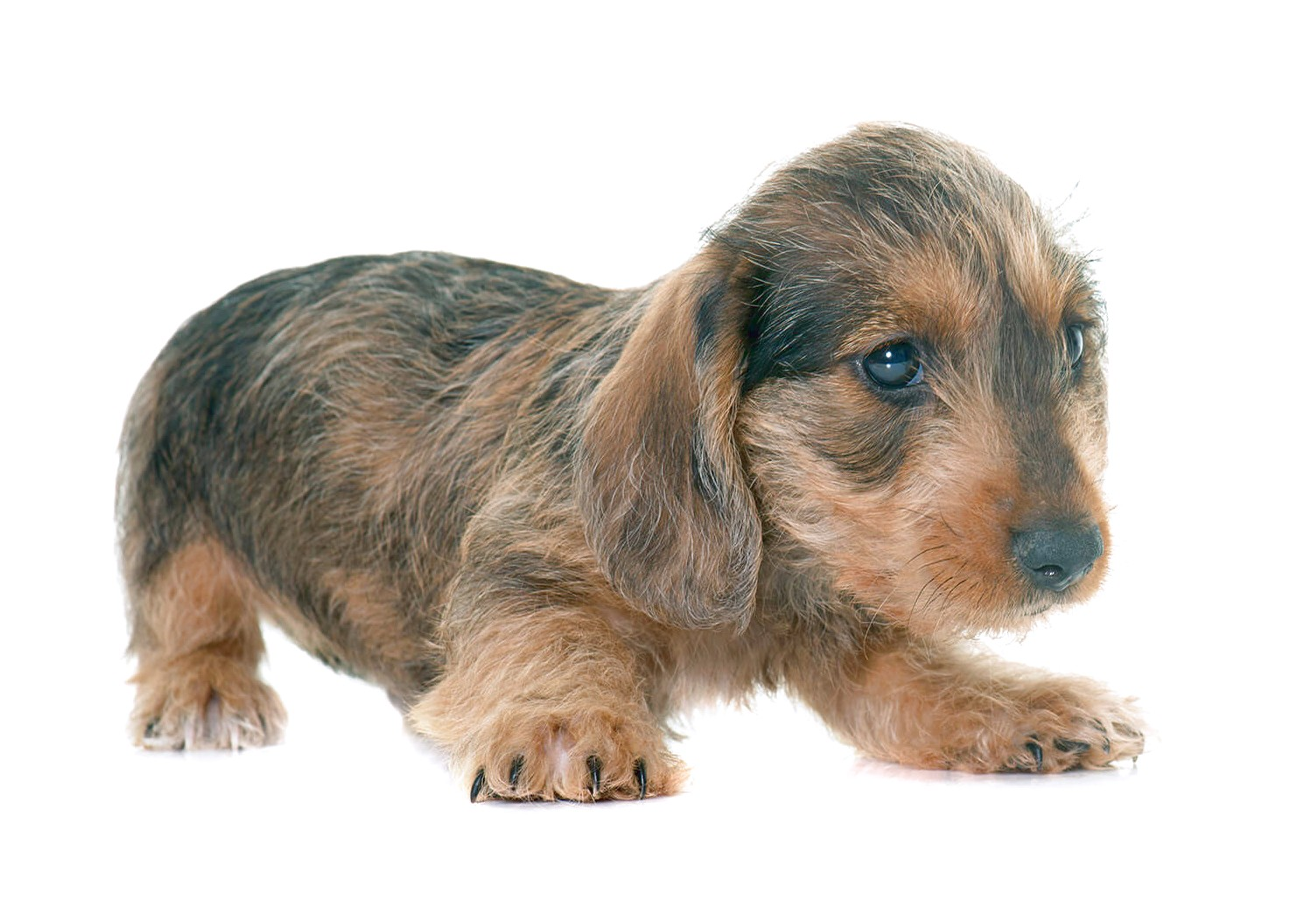 wire haired dachshund for sale near me