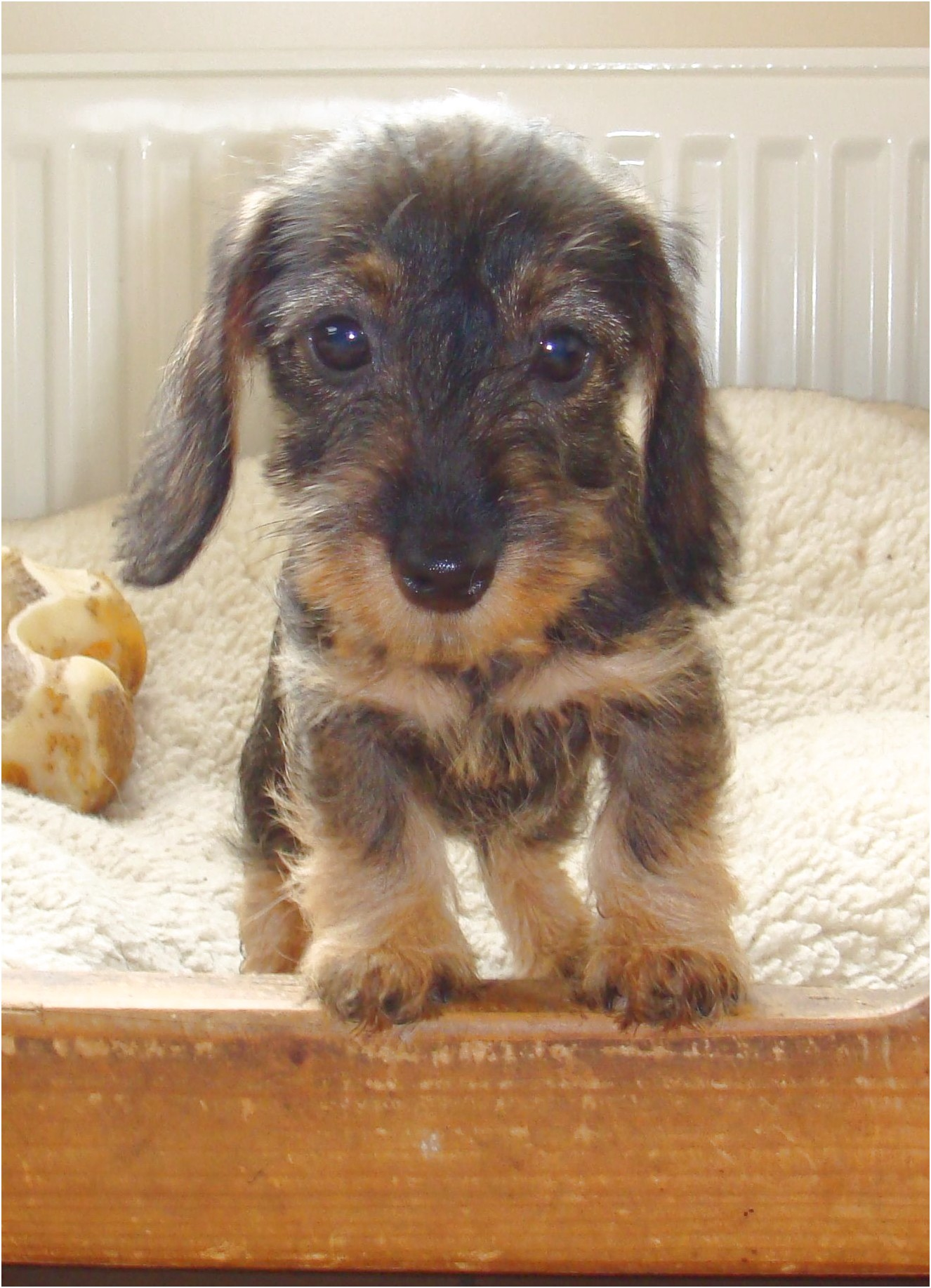 wire haired dachshund puppies for sale in pa