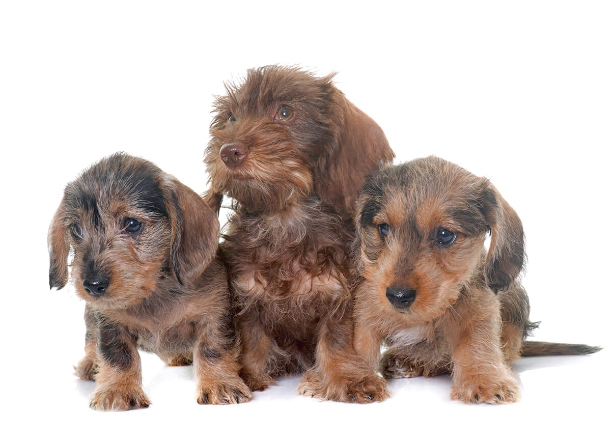 wire haired dachshund puppies near me