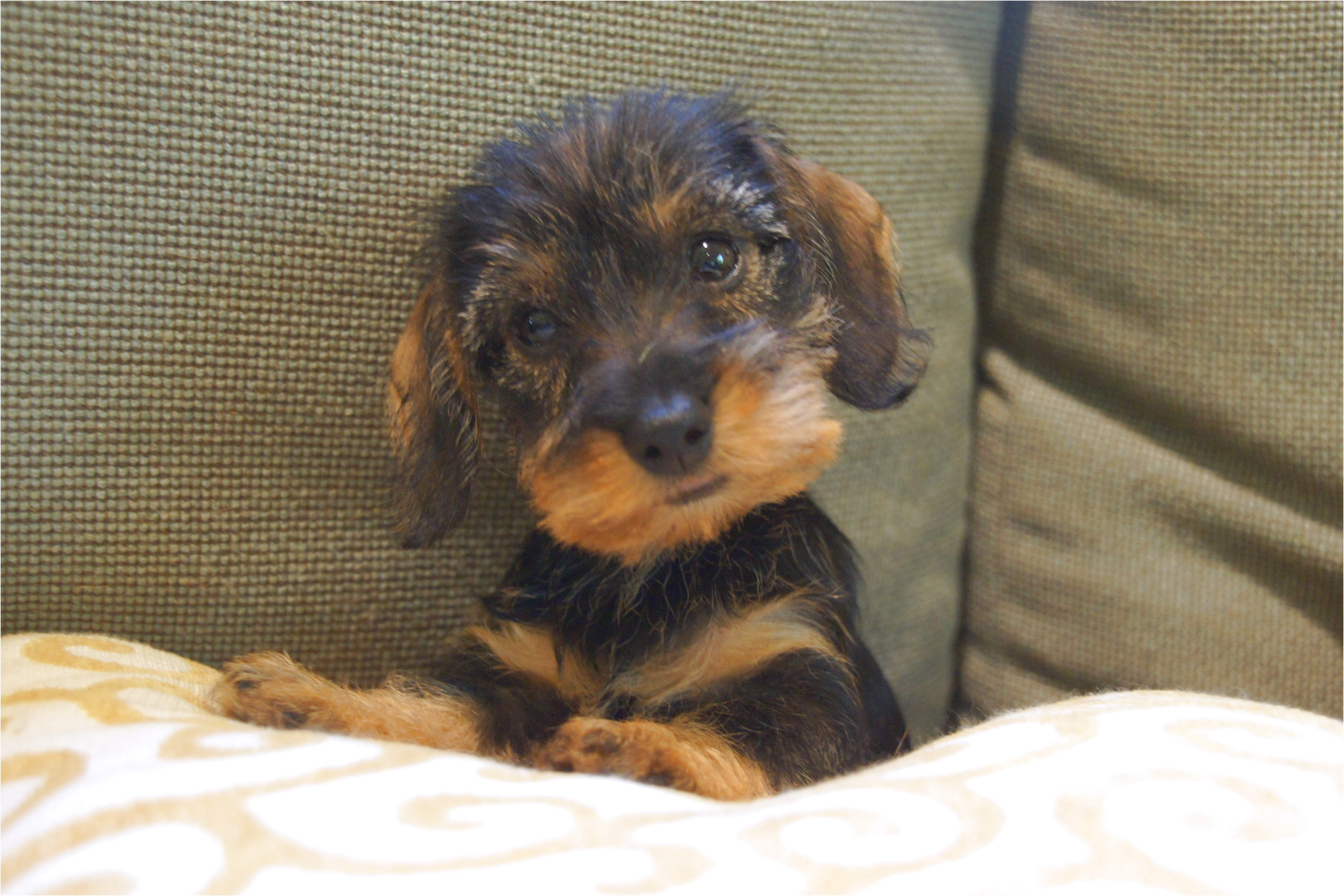 wirehaired dachshund puppies near me