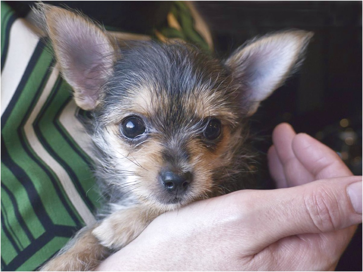 yorkie chihuahua mix puppies for sale in ohio