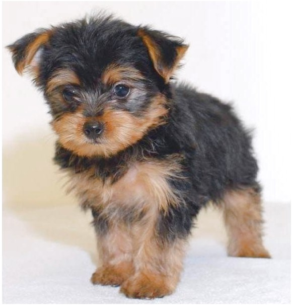yorkie poo puppies for sale near me