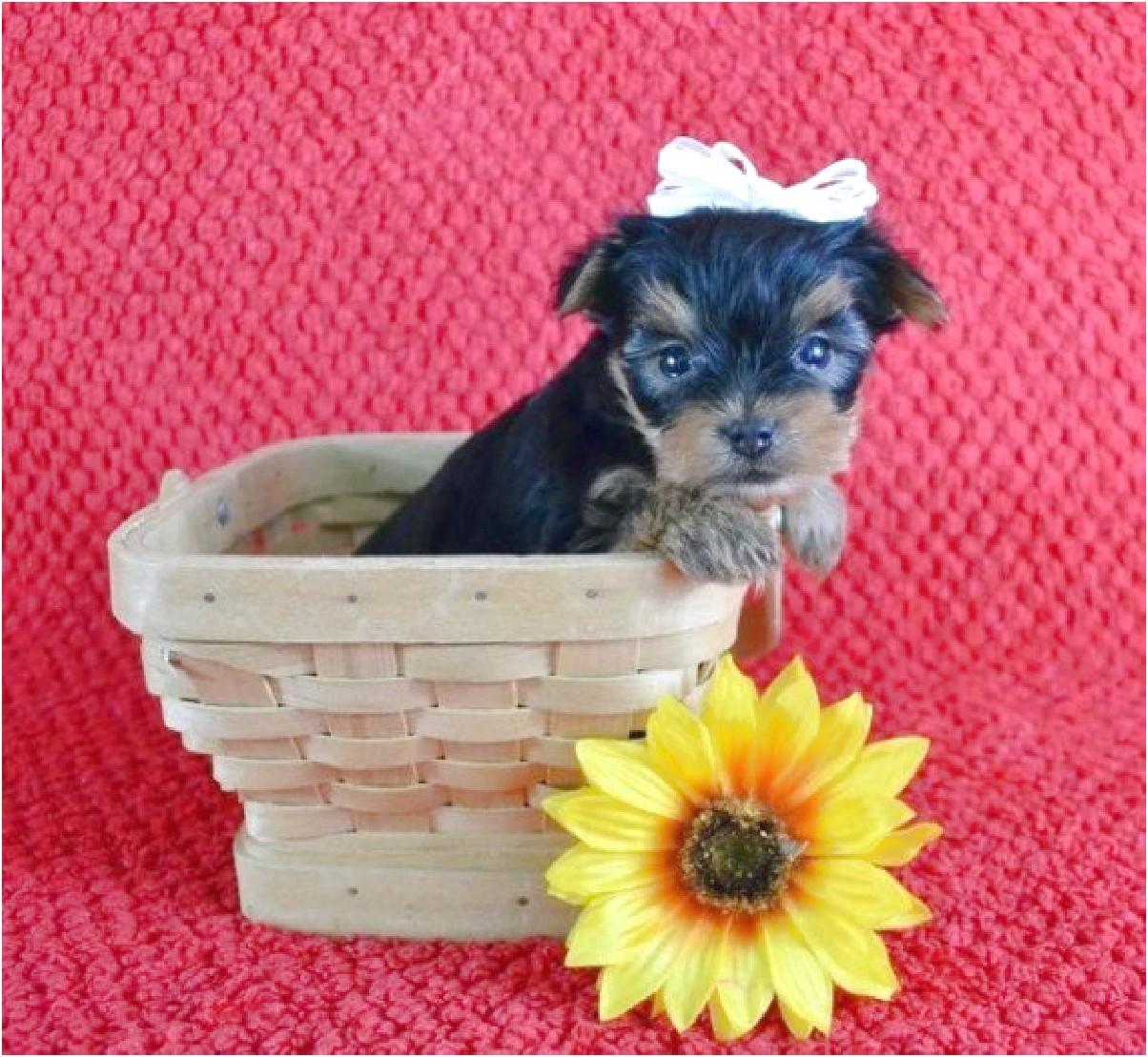 yorkie puppies for sale near me under 300 dollars