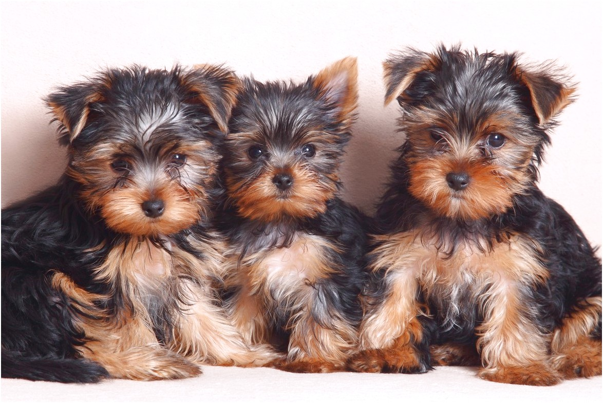 yorkie puppies for sale near me under 300