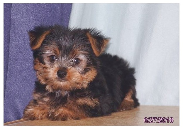 yorkie puppies for sale near me