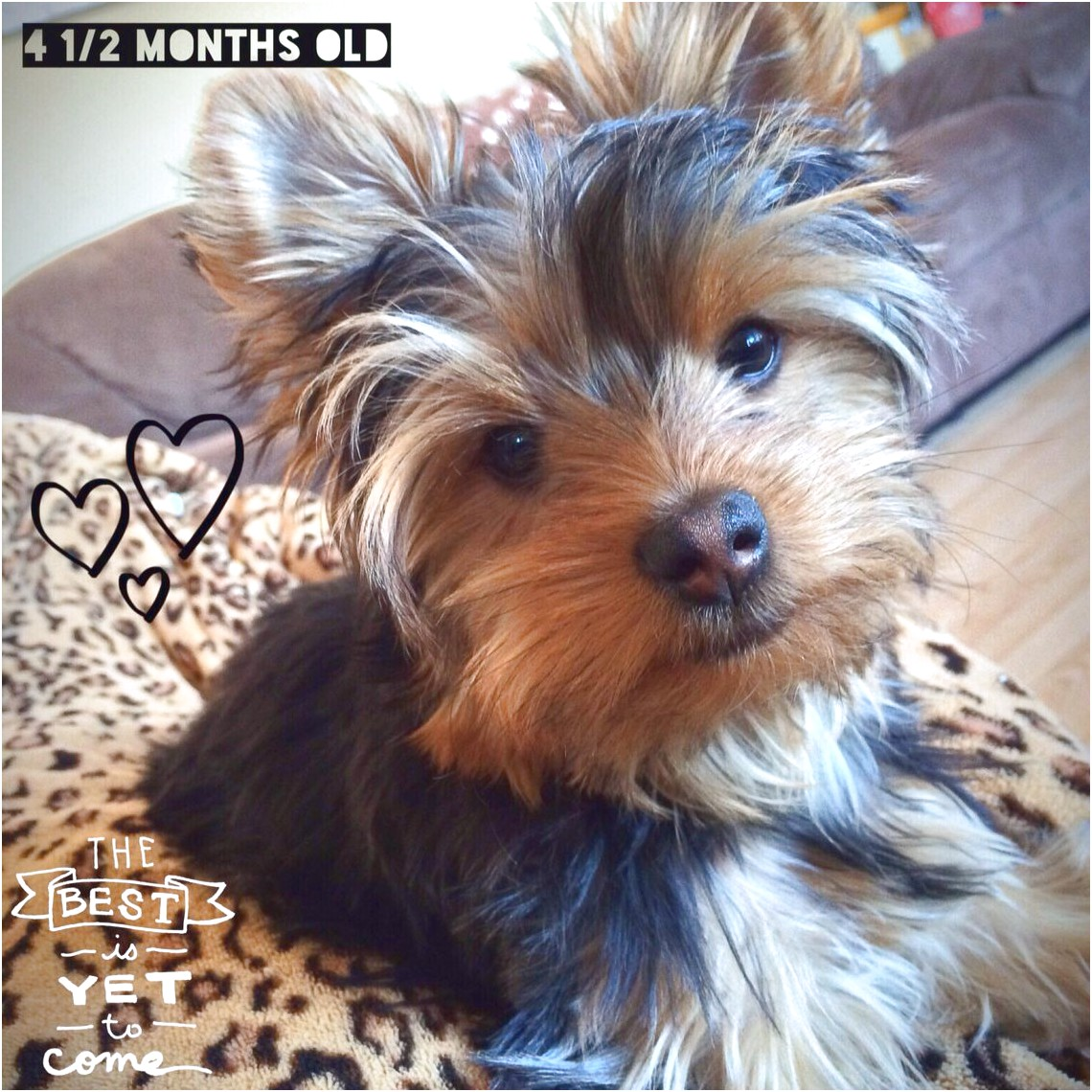 yorkie puppy 9 weeks old