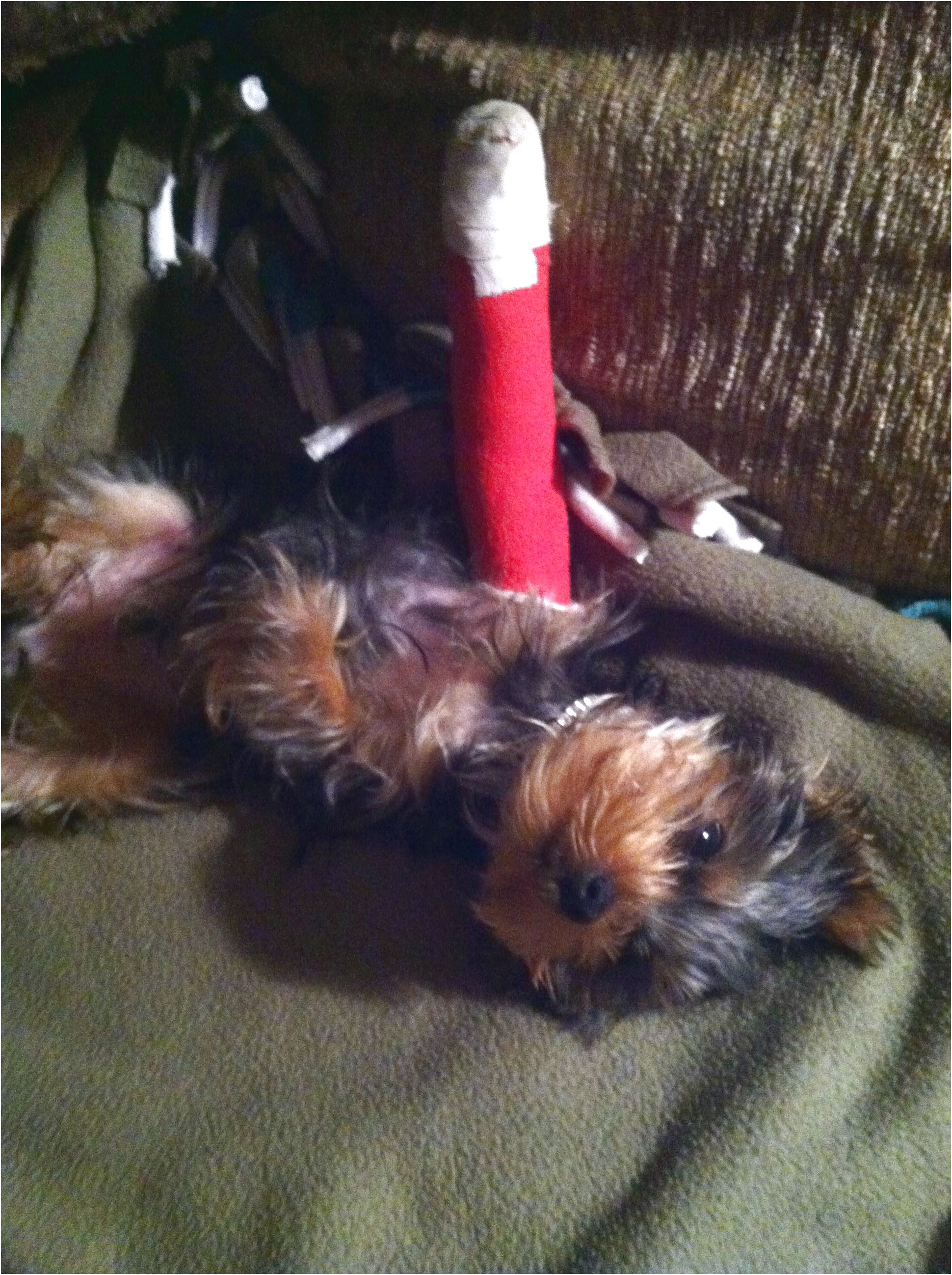 yorkie puppy jumped off couch