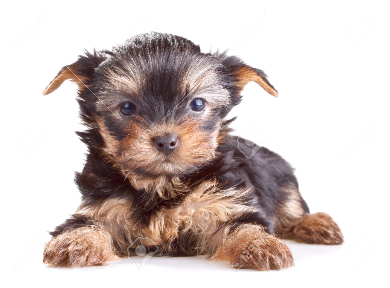 yorkie terrier puppies