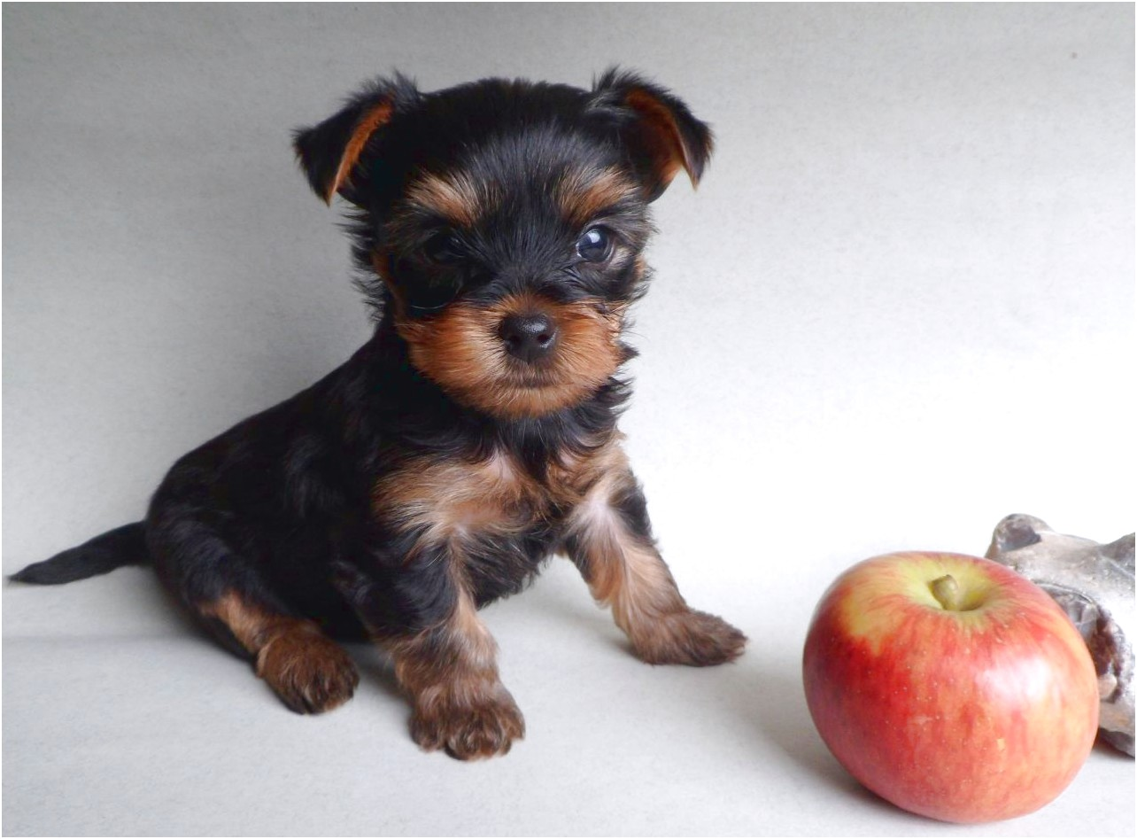 yorkie terrier puppy sale