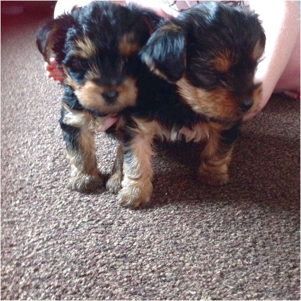 yorkie terrier teacup puppies for sale