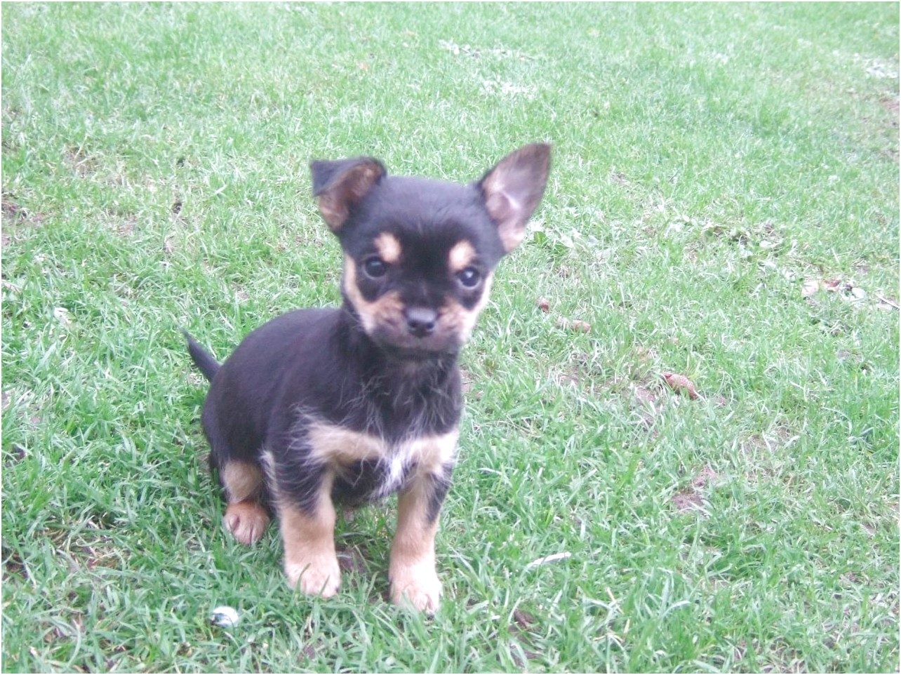 yorkie x pups for sale