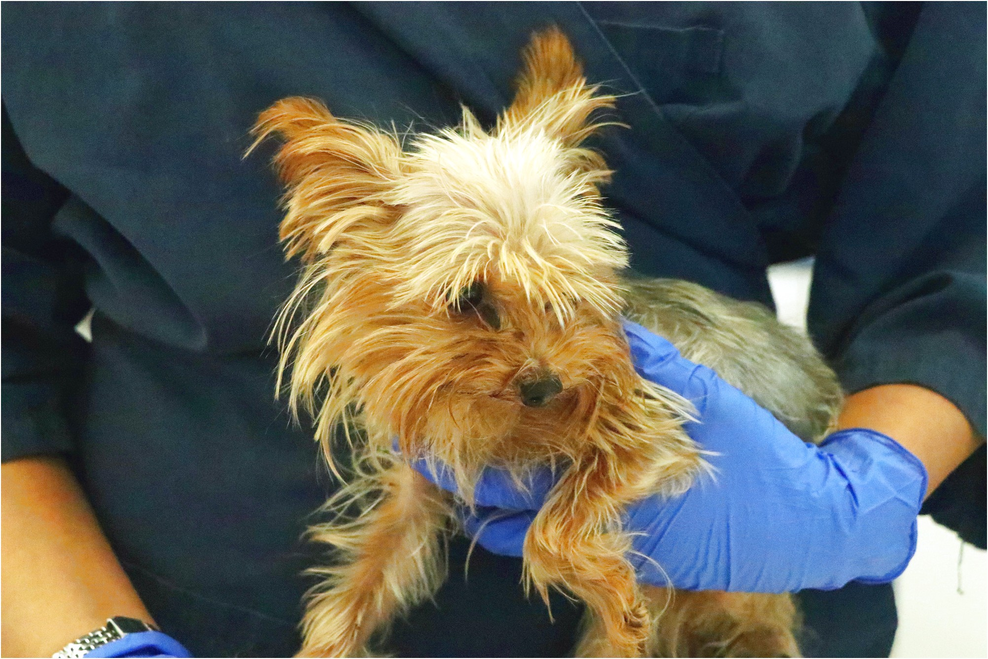 yorkshire terrier adoption calgary