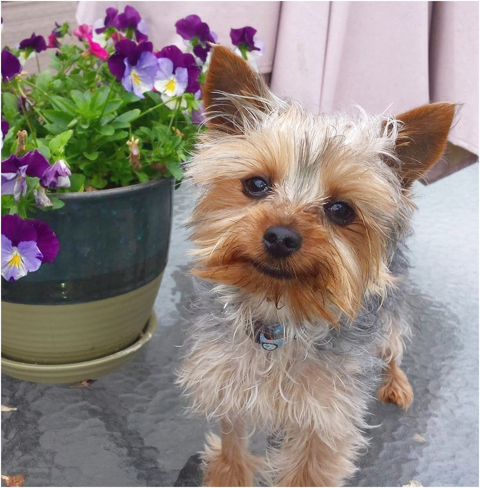 yorkshire terrier adoption in california