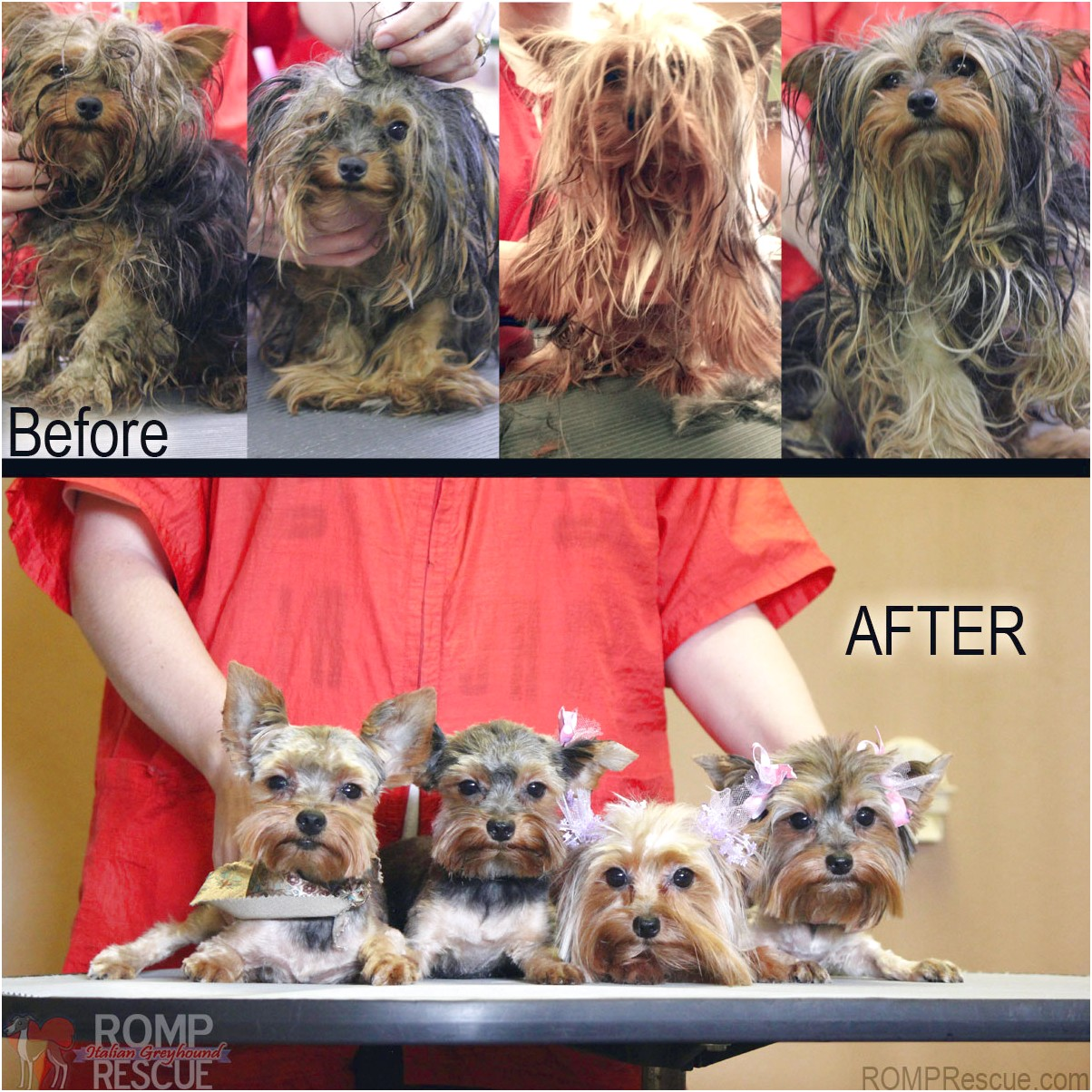 yorkshire terrier adoption indiana
