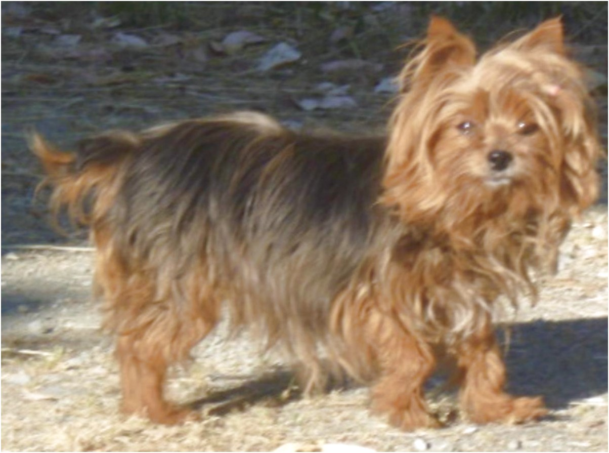 yorkshire terrier adoption ky
