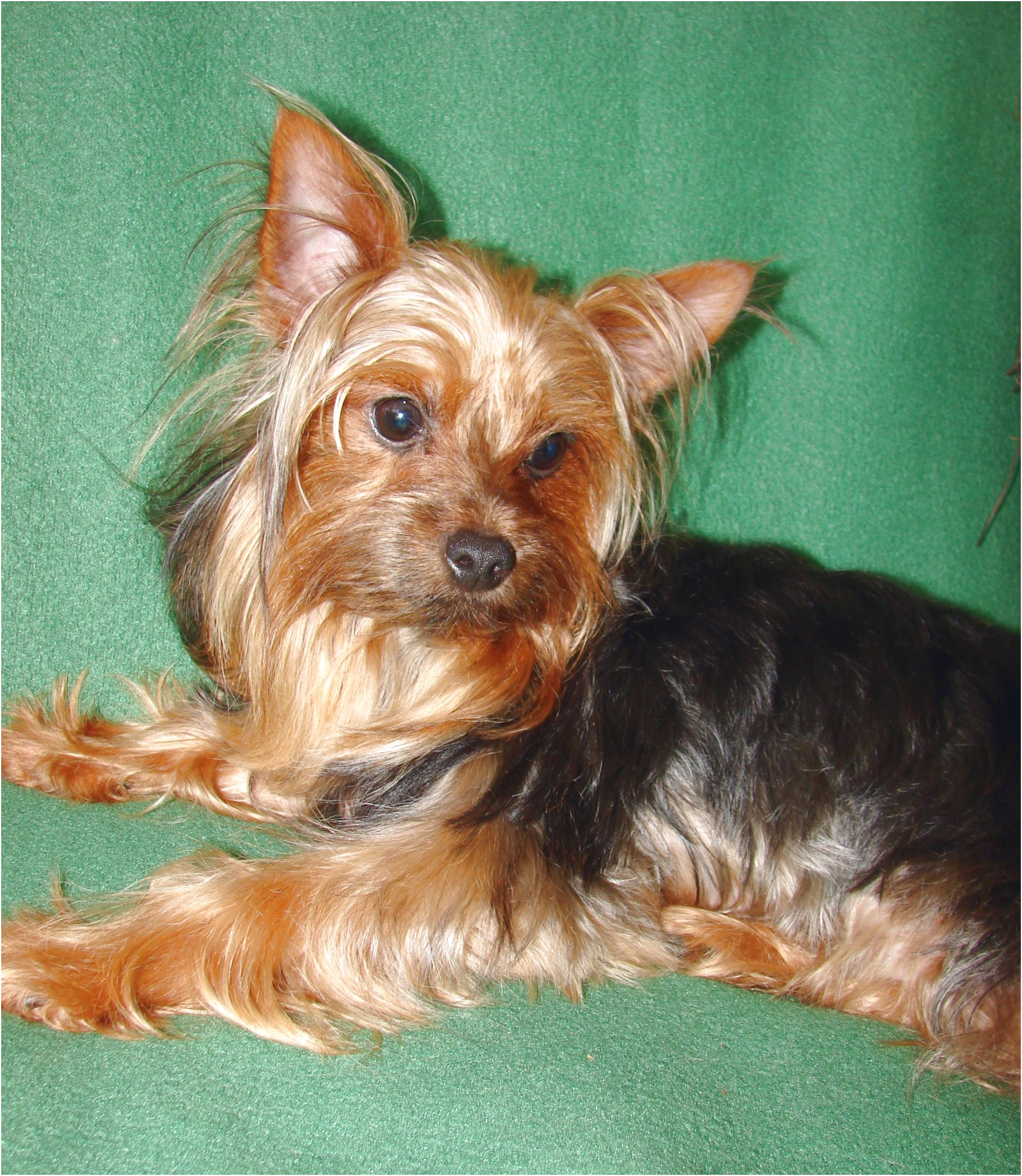 yorkshire terrier adoption melbourne
