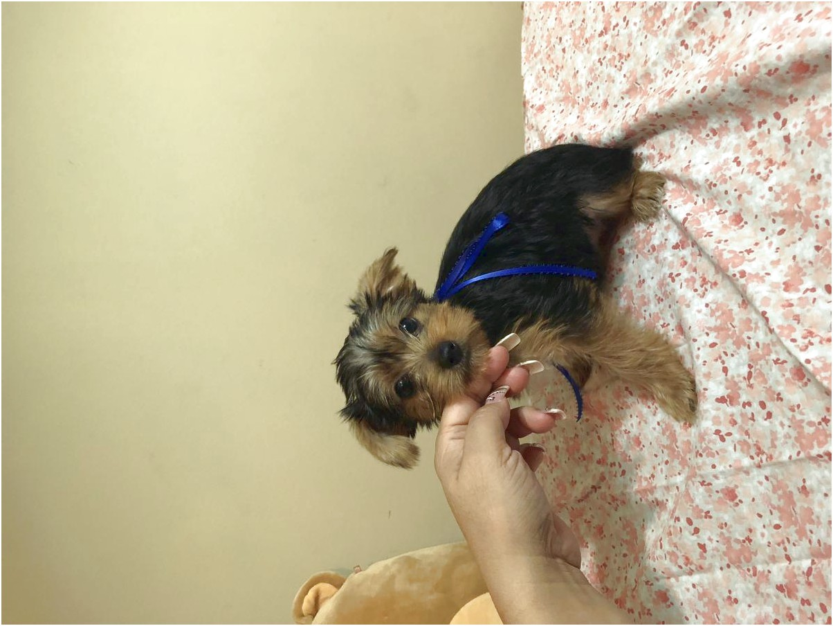 yorkshire terrier adoption north carolina