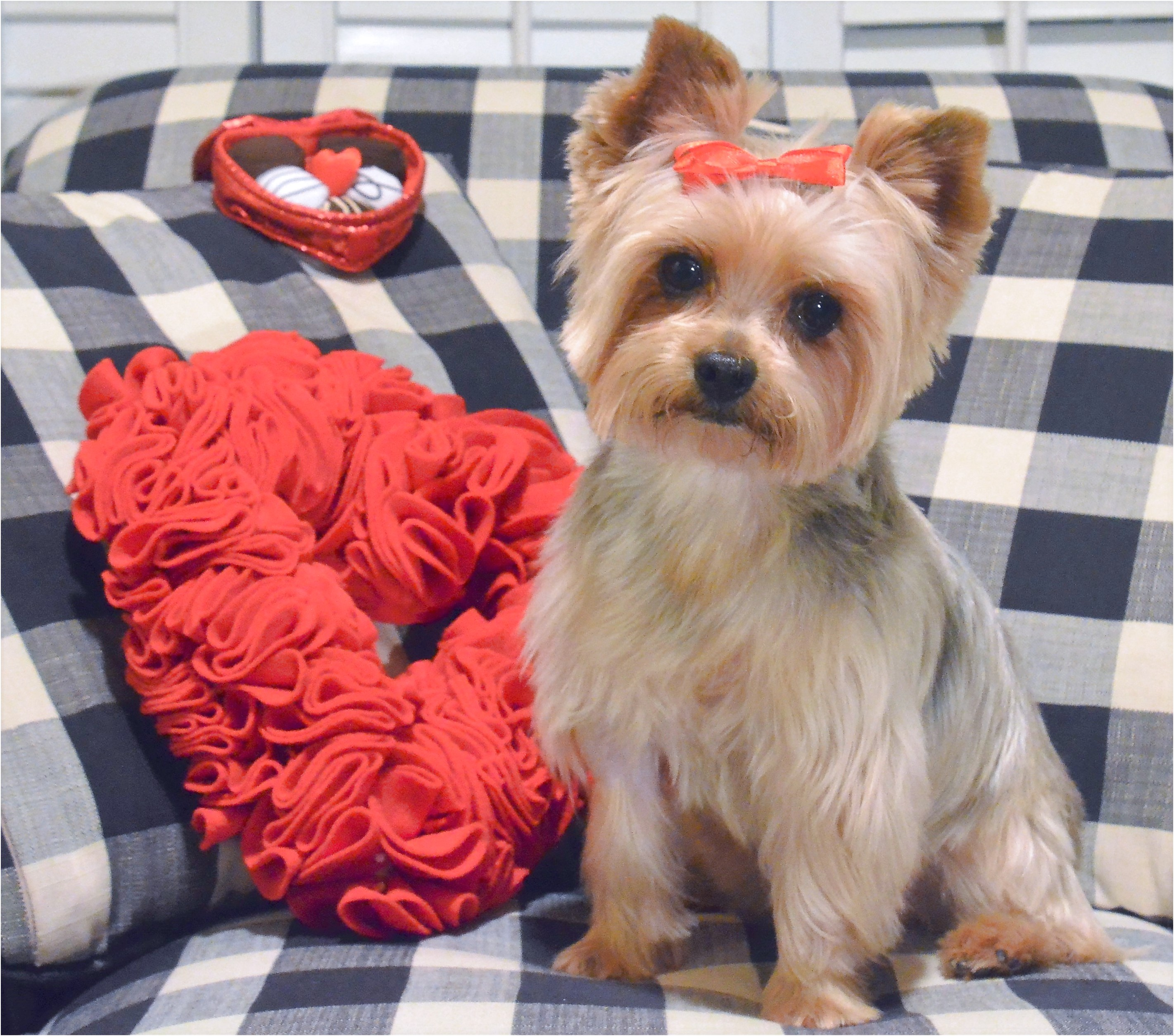 yorkshire terrier adoption nyc