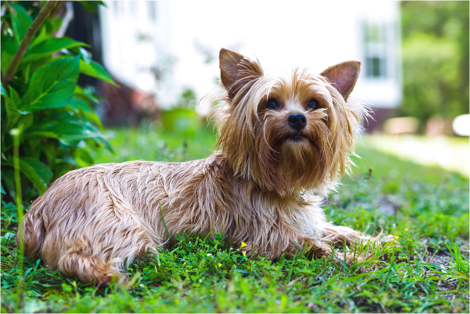 yorkshire terrier adoption south carolina