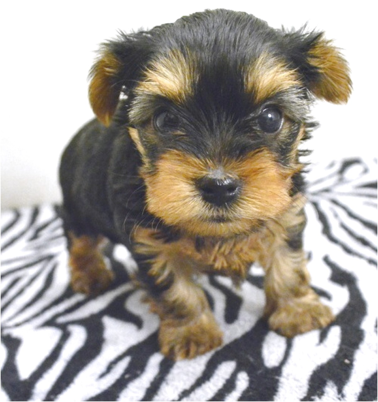 yorkshire terrier adoption south florida