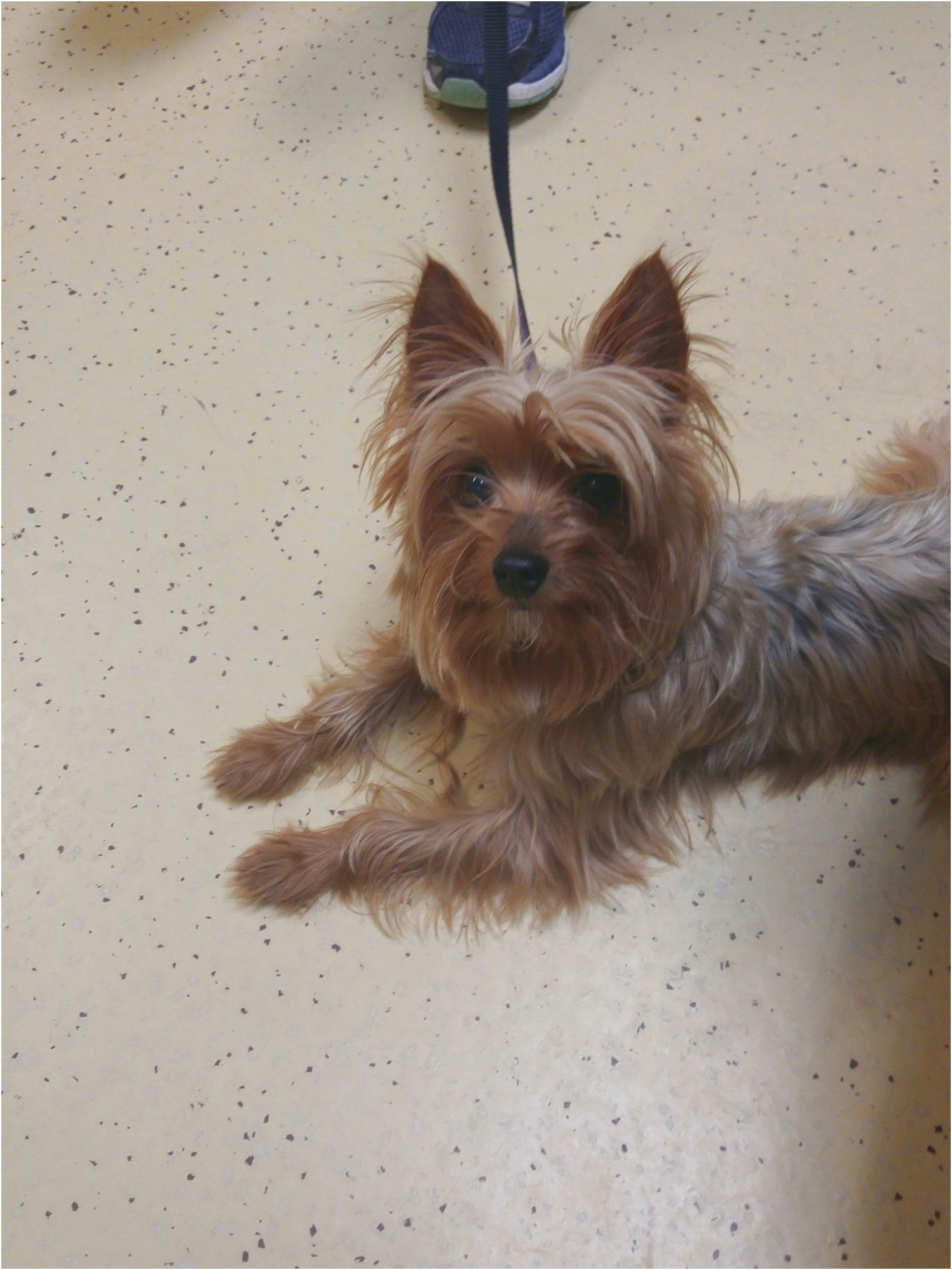 yorkshire terrier adoption toronto