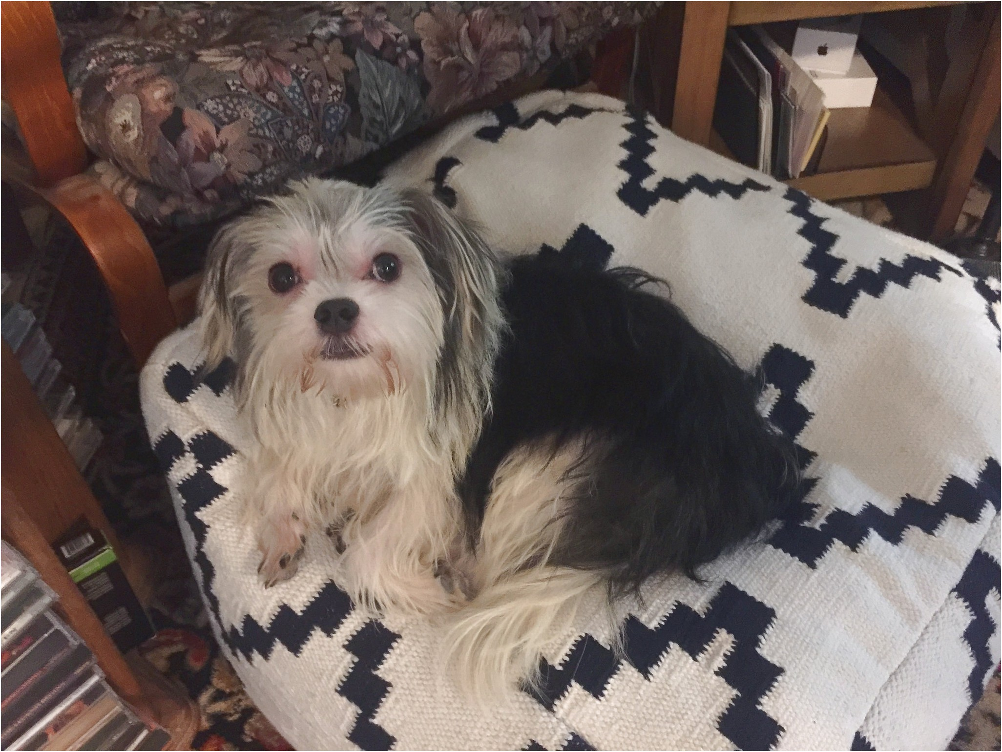 yorkshire terrier adoption vancouver