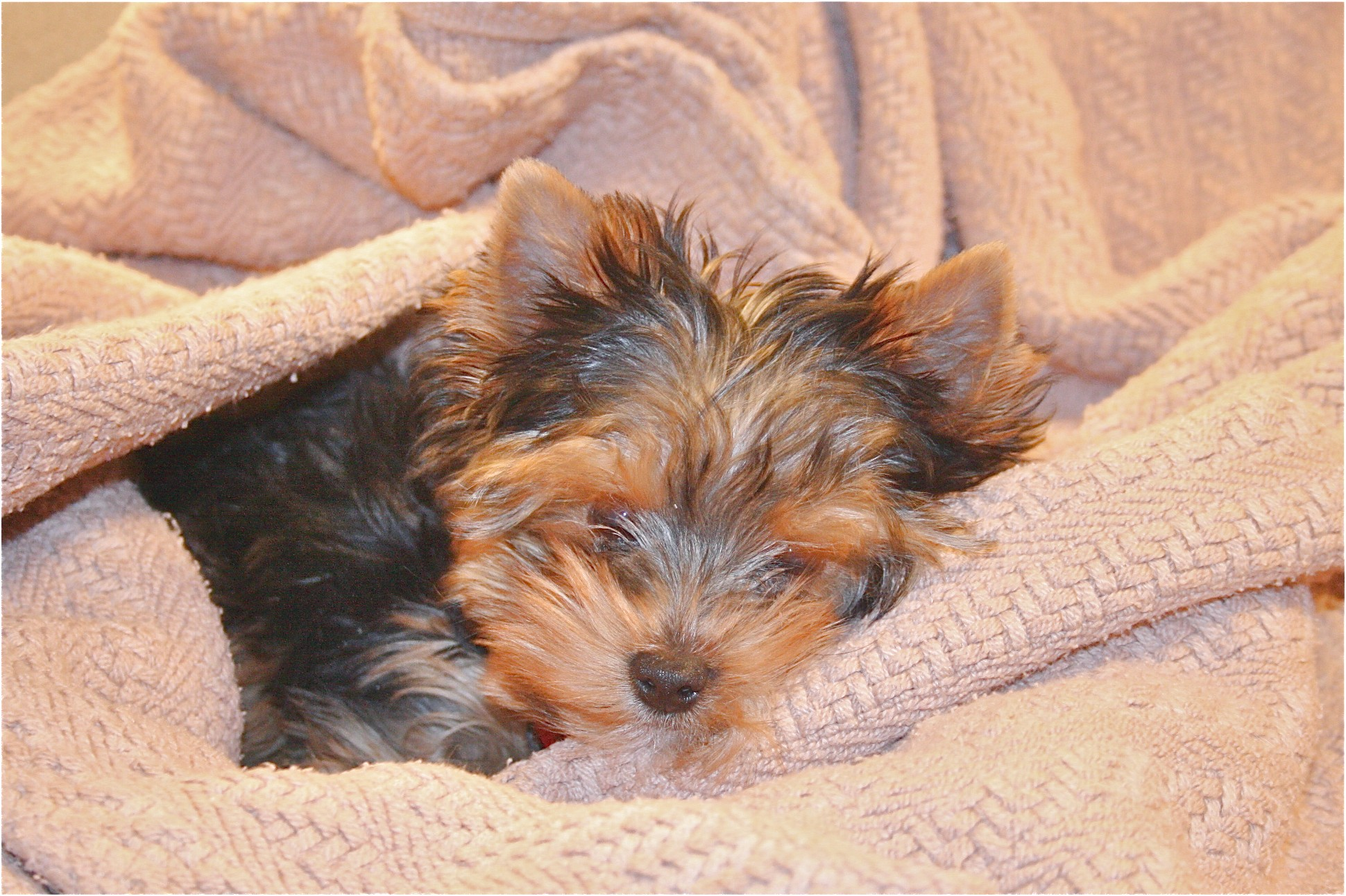 yorkshire terrier adoption virginia