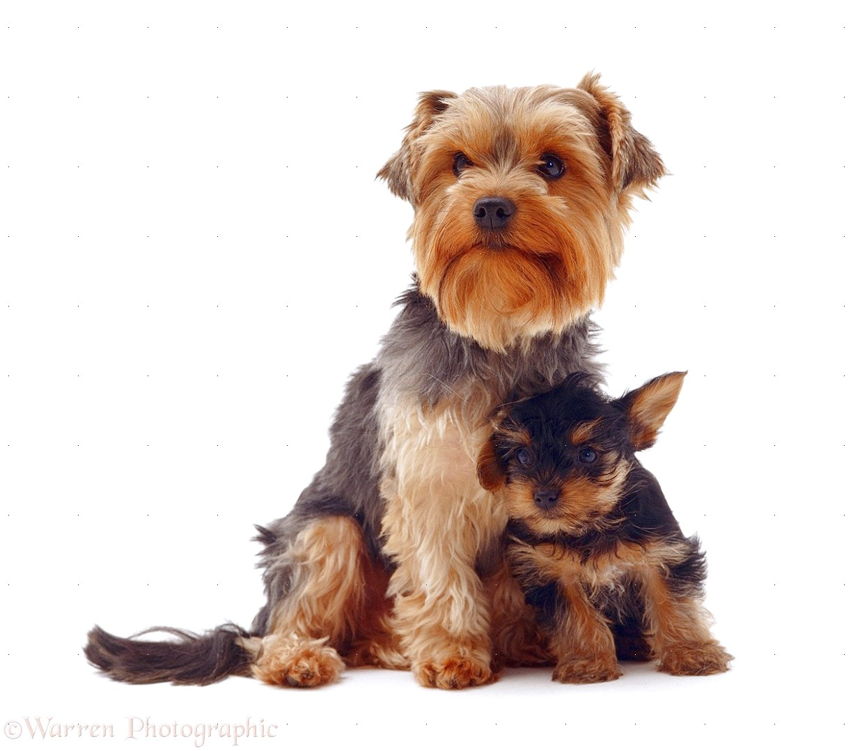yorkshire terrier and puppy