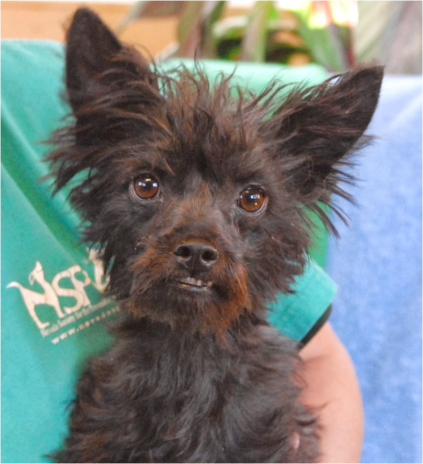 yorkshire terrier animal shelter