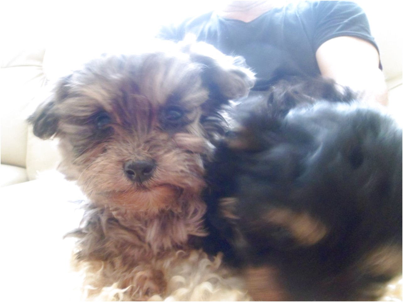 yorkshire terrier cross pups for sale