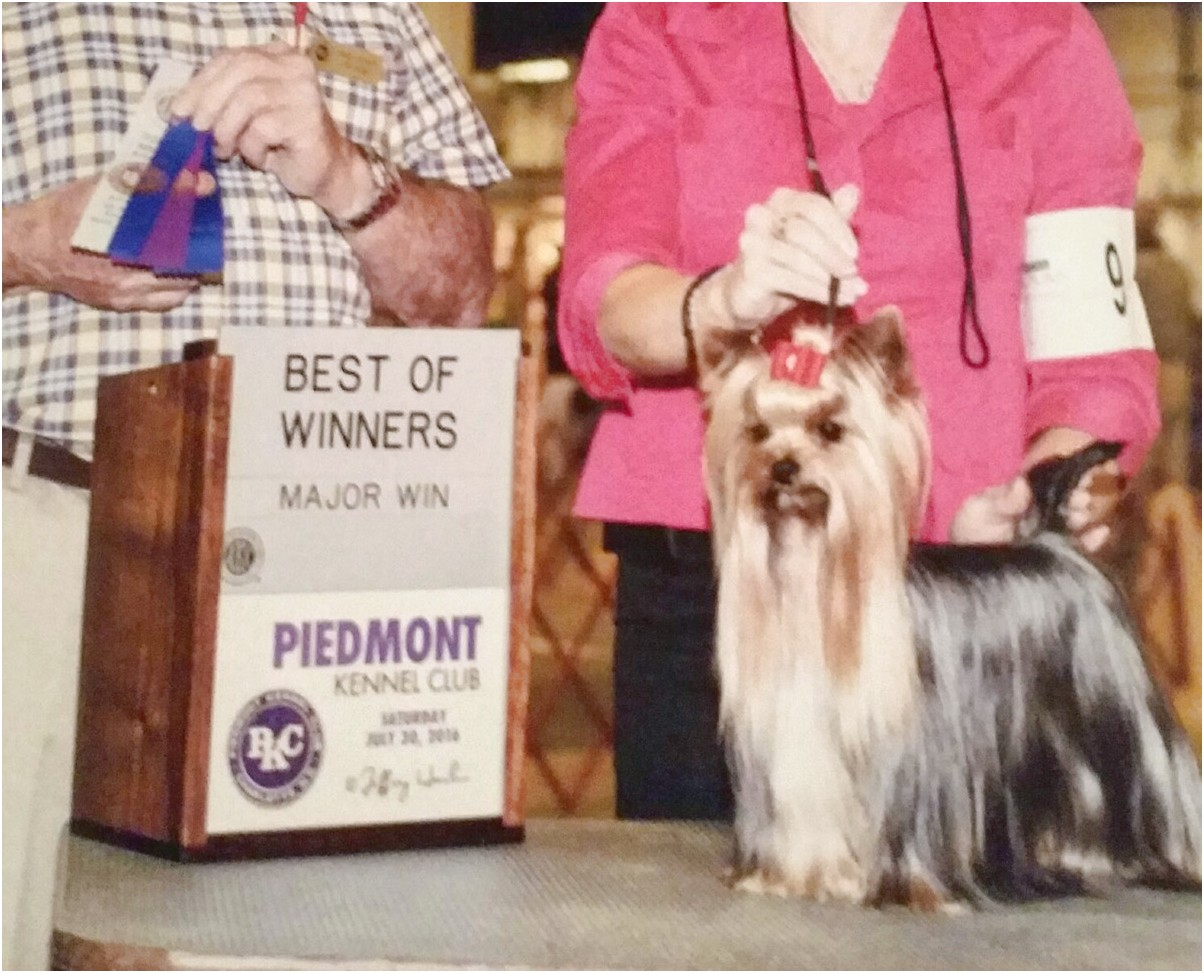 yorkshire terrier for sale bc