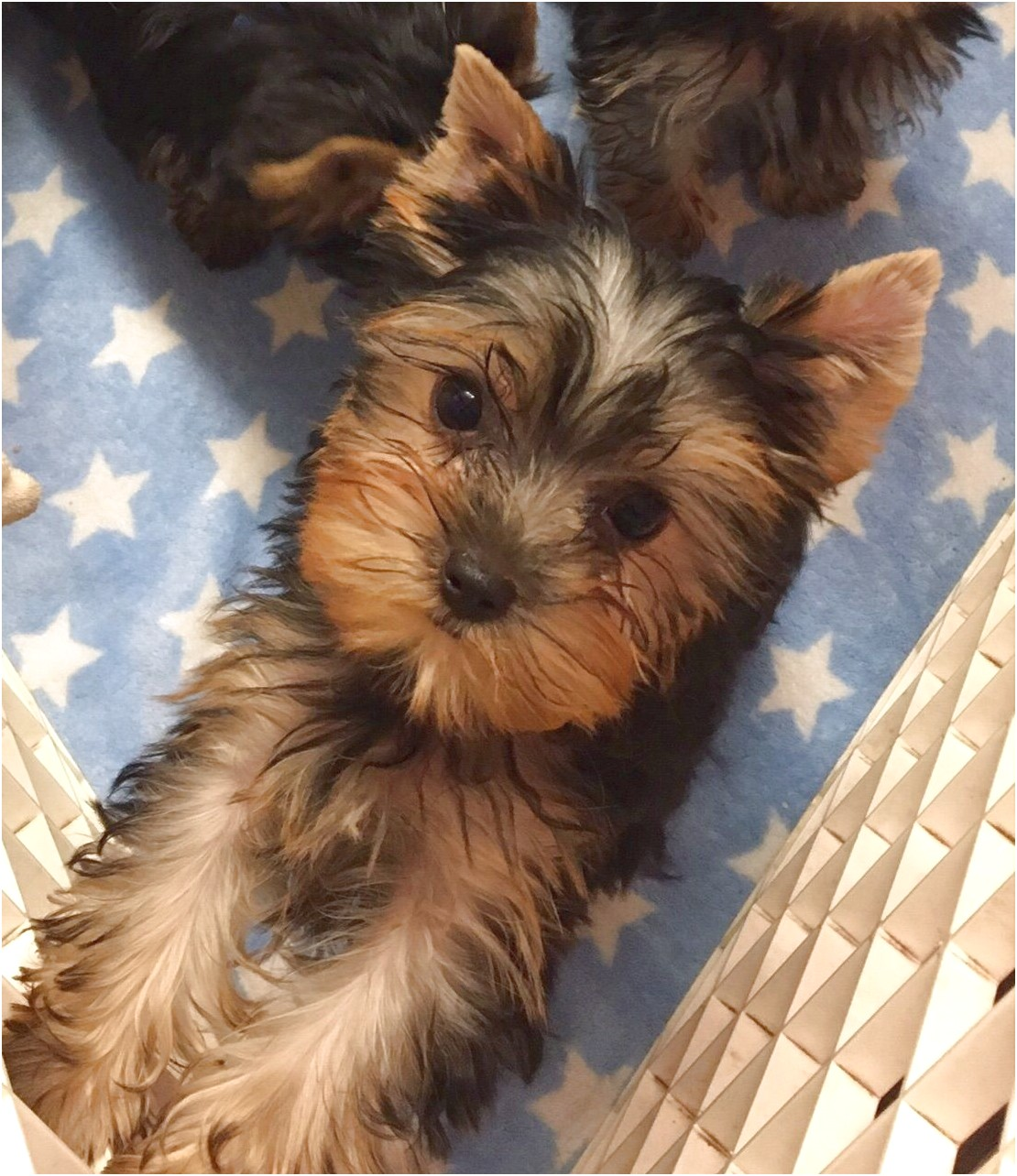 yorkshire terrier for sale bournemouth
